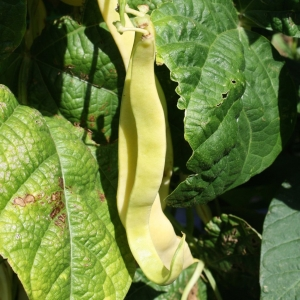 Haricot Grimpant Jaune Gold Marie - Bio Tourne-Sol