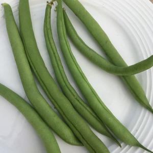 Haricot Nain Vert Provider - Bio Tourne-Sol