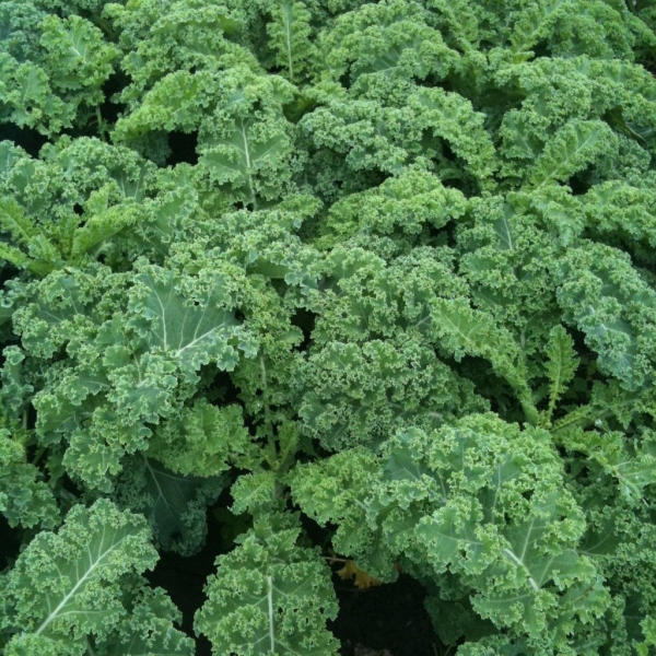 Kale Vates - Bio Tourne-Sol