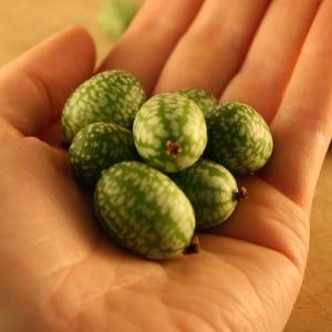 Melon Souris